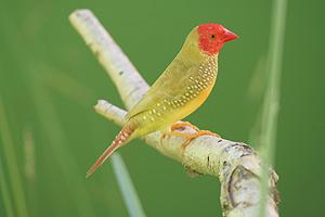 Fawn Star Finch Cock
