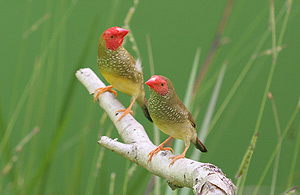 Pair of Normal Star Finches