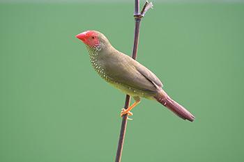 Normal Star Finch Hen
