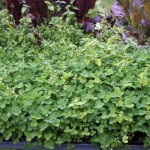 Trays of clover for winter food