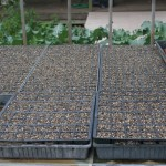 Seedling trays approaching germination