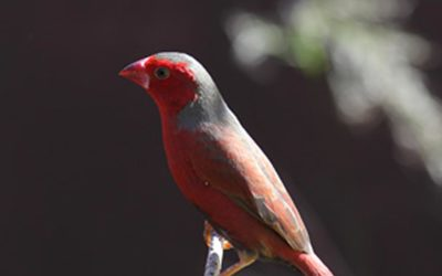 Crimson Finch Photos
