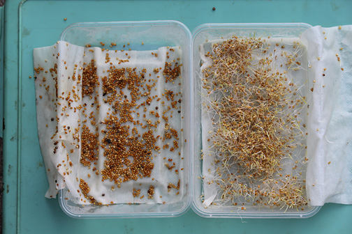 Both of these samples were soaked on the same day and after 48 hours it is evident that the sample on the left is completely dead and useless whereas the sample on the right the germination rate is almost 100%.