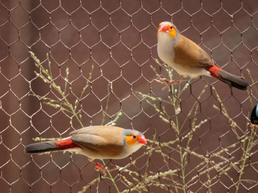 Orange Cheeked Waxbill